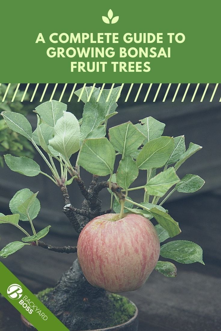 Bonsai Apple Trees A Guide To Compact Fruit Tree Care Bonsai Apple Tree Fruit Trees Bonsai Fruit Tree
