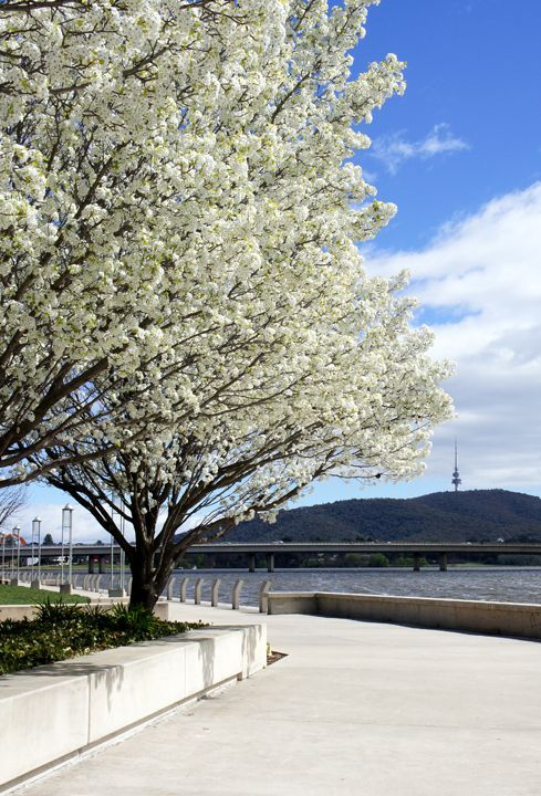 Spring in Canberra, Australia.
