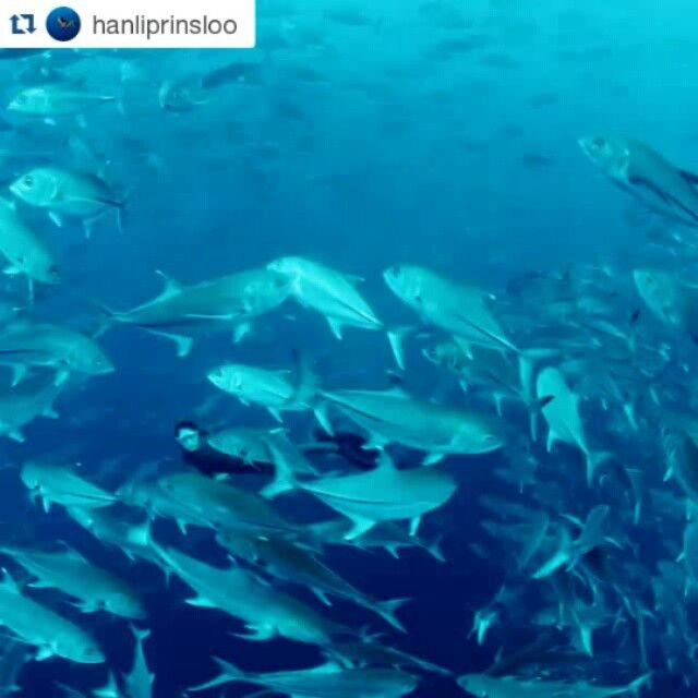 #hanliprinsloo with her Spierre fins! ・・・ Dancing with fish... A #WorldOceansDay celebration!!!! @petermarshallphoto captured this special moment in Cocos Island - surrounded by liquid silver, more precious than any jewels. Link in bio for more about our #SharkLand expedition with @mission_blue and @thisisfusion #CocosIsland #hopespot #missionblue #freediver #spierre #freediving