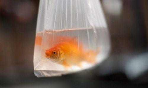 Goldfish, fairs, festivals: law enforcement, life
