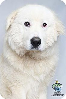 2/18/17 Knoxville, TN - Great Pyrenees Mix. Meet Brian a Dog for Adoption.