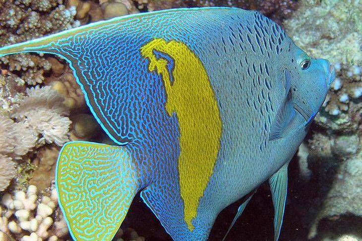 Peixe-Anjo Árabe. Muito belos e bem conhecidos por seu uso regular em aquários de água salgada, esses peixes são mais tímidos do que muitas outras espécies de peixe-anjo e também podem ser agressivos.
