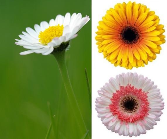 Daisy Flower Facts and Meaning | Flower