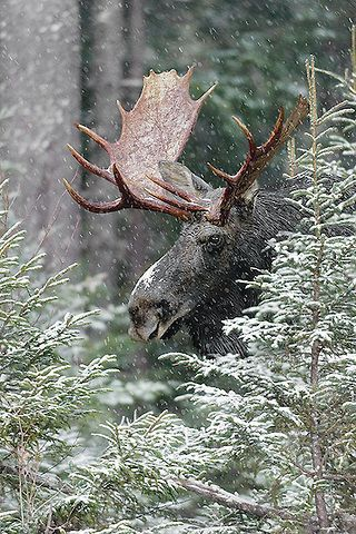 A majestic adult Bull Moose stands amongst Spruce Fir trees in the snow - one of the Winter food staples for Moose.