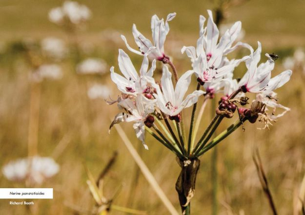 Nerine pancratioides photographed in the Karkloof by Richard Booth