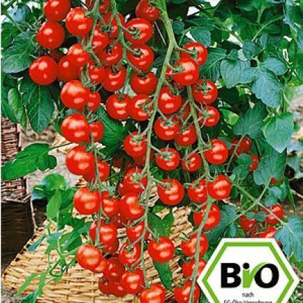 BIO-Cherrytomate 'Pepe' F1,2 Pflanzen BIO-Tomatenpflanze
