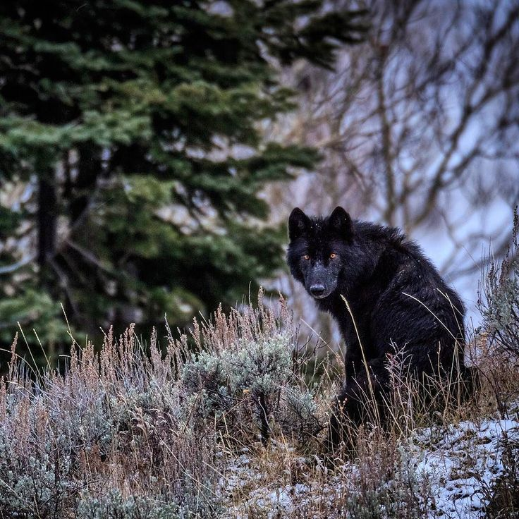Photo by @ronan_donovan Yellowstone // A black wolf's piercing eyes cut through the dusk on a fall evening in Yellowstone. The name gray wolf can sometimes be misleading since their coat color can carry from white to black. Genetics shows the black coat color is a result of wild wolves interbreeding with domestic wolf-dogs somewhere around 15000-40000 years ago. In Yellowstone roughly half the wolves are considered black. Which color wolf would you like to see - black white or gray?…