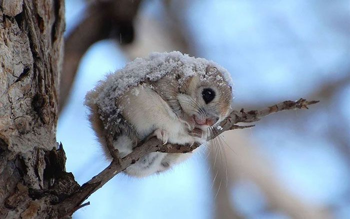 These adorable flying squirrels are found in Japan and in Europe, from the Baltic Sea to the Pacific coast, and fall under the category of Old World flying squirrels. They don't hibernate, but in the winter, they sometimes sleep for several days at a time.