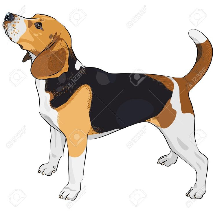 Color Sketch Of The Dog Beagle Breed Royalty Free Cliparts, Vectors, And Stock Illustration. Image 14607050.