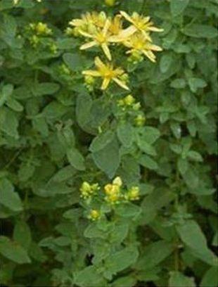 Třezalky - rostlina třezalky skvrnité, Hypericum maculatum