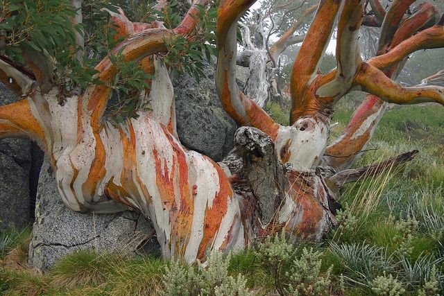 Truly cool! A snow gum tree at Charlotte Pass in Australia's high country.