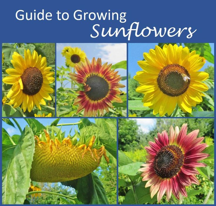 Guide to Growing Sunflowers - Covers planting and thinning sunflower seeds; common problems, pests and diseases; how sunflowers are pollinated; how to choose varieties; and how to harvest sunflower seeds.
