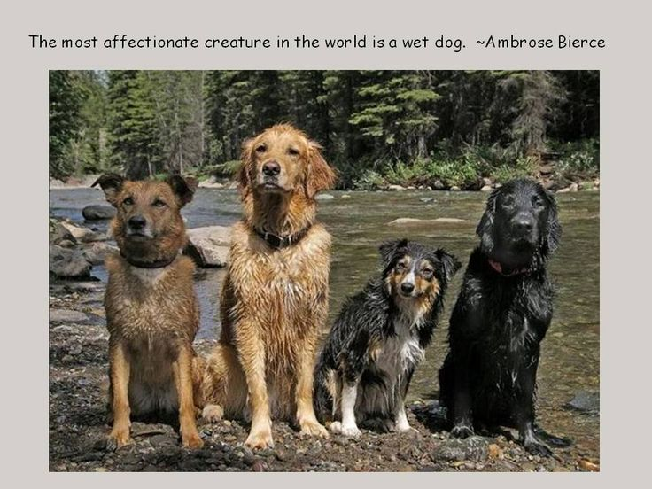 """The most affectionate creature in the world is a wet dog"": Water, Dogs Quotes, Animal Rights, Golden Retrievers, Animal Photo, Pet, Dogs Humor, Wet Dogs, Dogs Life"