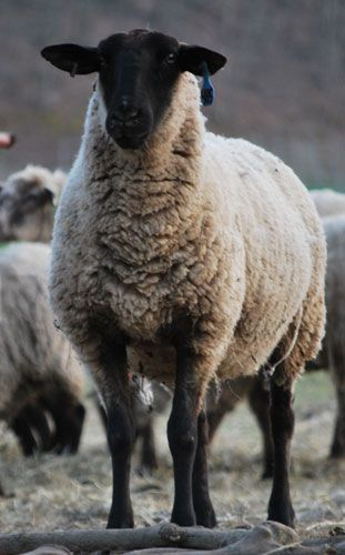 Suffolk Ewe. This is my matriarch's breed.  8 years old and the best Momma and flock leader ever!  Long live Lambie!