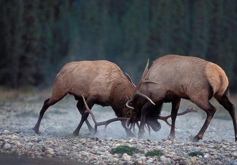 Bull Elk in the rut