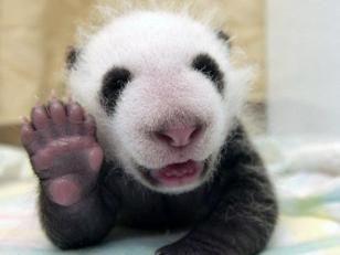 Fotos osos panda: osito panda saludando  [4-7-17]