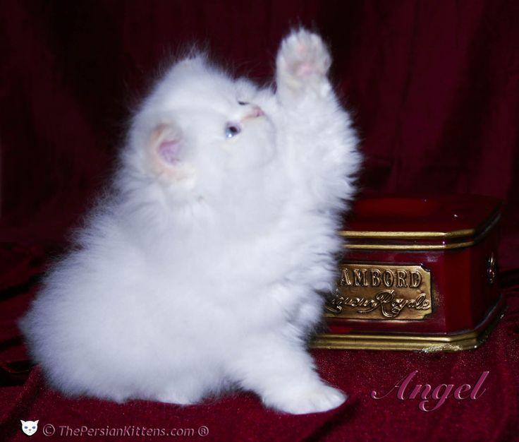 Persian cat breeders mn