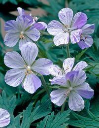 Kyläkurjenpolvi Geranium pratense 'Splish-Splash' ('Striatum'). Juurakoita Viherpeukaloiden kevätalennusmyynnistä. Korkeus: 25-80 cm lajikkeen mukaan. Kukinta: heinä-elokuu. Kasvupaikka: aurinkoinen, puolivarjoinen. Talvenmetsästys: erittäin kestävä. Kukan väri: vaaleansinivalkoinennen. Kasvualusta: tuore tai kostea, keskiravinteinen. Istutusväli: n. 40 cm. Kukkavarret voidaan leikata kukinnan jälkeen. Leviää voimakkaasti kylväytymällä.