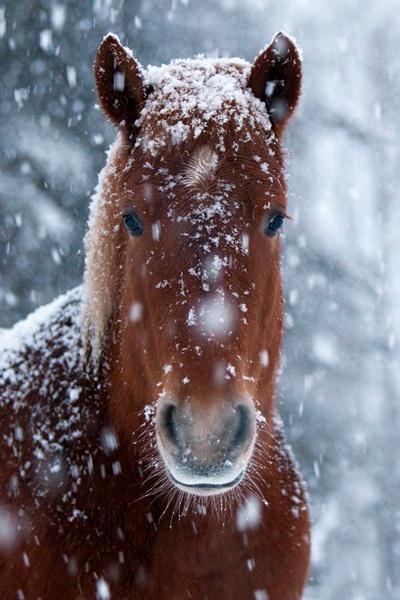 Finnhorse in winter. © Jessica Ruponen