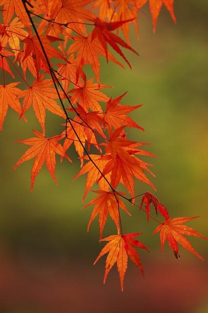 紅葉 #2 (momiji), via Flickr.