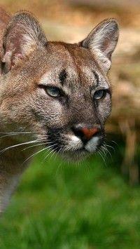 Puma wypatrująca zdobyczy