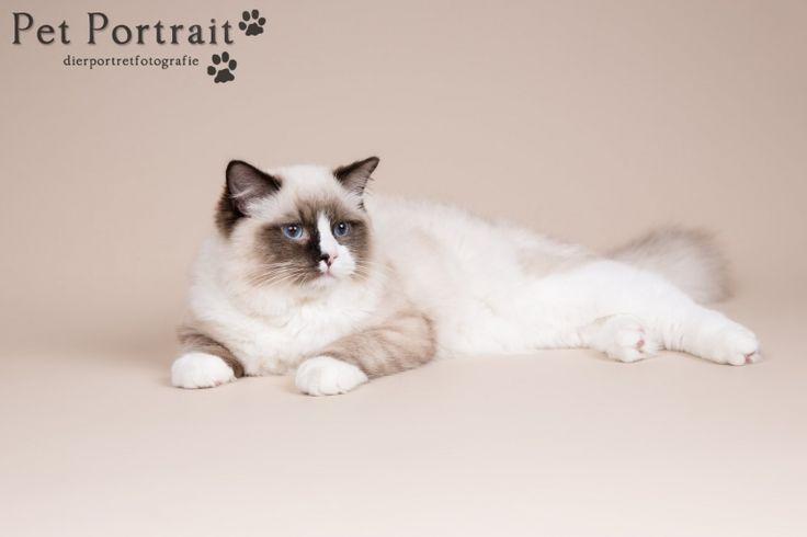 Kattenfotograaf Hillegom - Fotoshoot voor een Heilige Birmaan en een Ragdoll-8