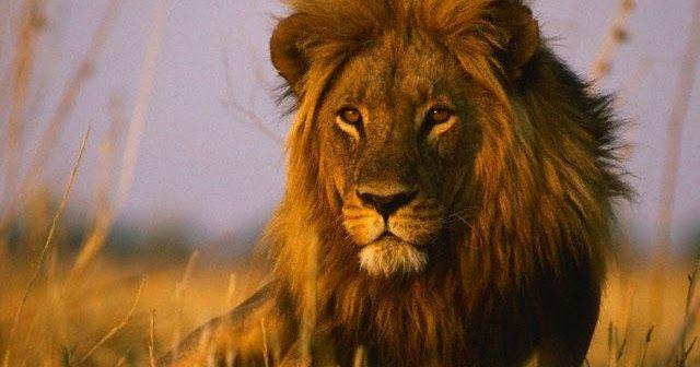 صفات الاسد الأسد هو اكبر الثدييات آكلة اللحوم بعد النمر هو ثاني أكبر القطط لدى الحيوان عضلة متطورة للغاية يبل African Lion Kenya Lions Deadly Animals