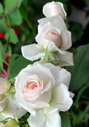 Roses in the garden ~