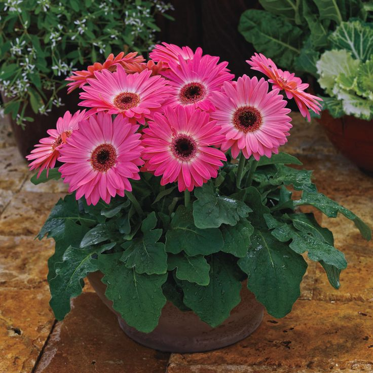 Majorette Pink Halo Gerbera Daisy Seeds from Park Seed
