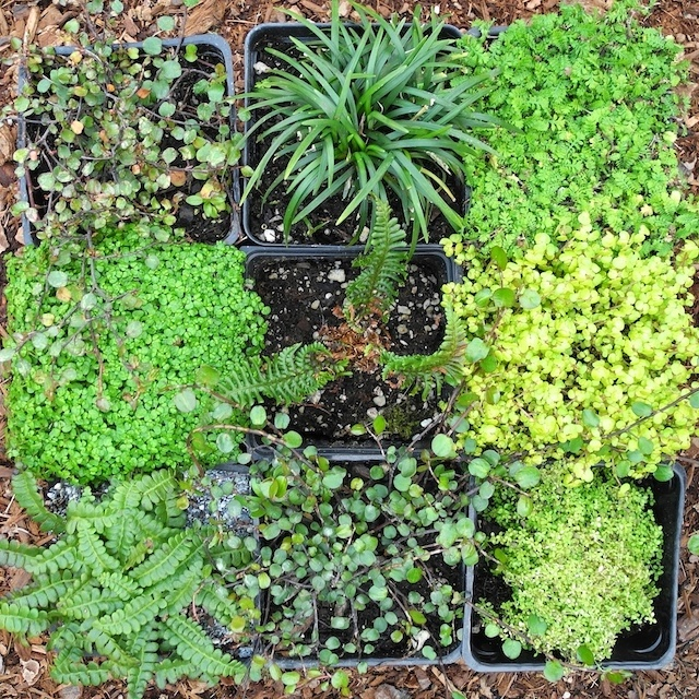 52 Best Images About Fairy Garden Plants On Pinterest