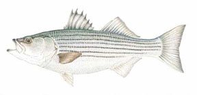 """The striped bass, or """"striper,"""" one of the most avidly pursued of all coastal sport fish, is native to most of the East Coast, ranging from the lower St. Lawrence River in Canada to Northern Florida, and along portions of the Gulf of Mexico."""