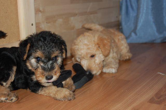 щенки лейкленд терьера lakeland terrier puppy