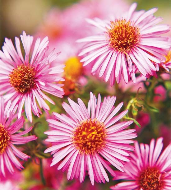 mens suits online New England aster bears loads of pink  blue  purple  and white flowers that are great in the vase or in the garden  Butterflies love it    and we do  too  Name  Aster novae angliae Growing Conditions  Full sun and well drained soil Size  To 5 inches tall Zones  4 8 Native to North America  Yes