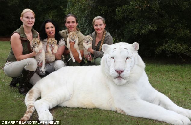Record size: Their uncle, Hercules (pictured), is officially the world's largest cat at 922 lbs and 131 inches long
