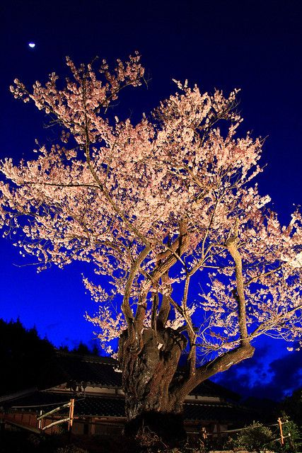 Cherry Blossom Night, Japan