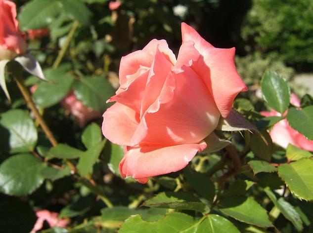 The Sonia Rose - my wedding flower