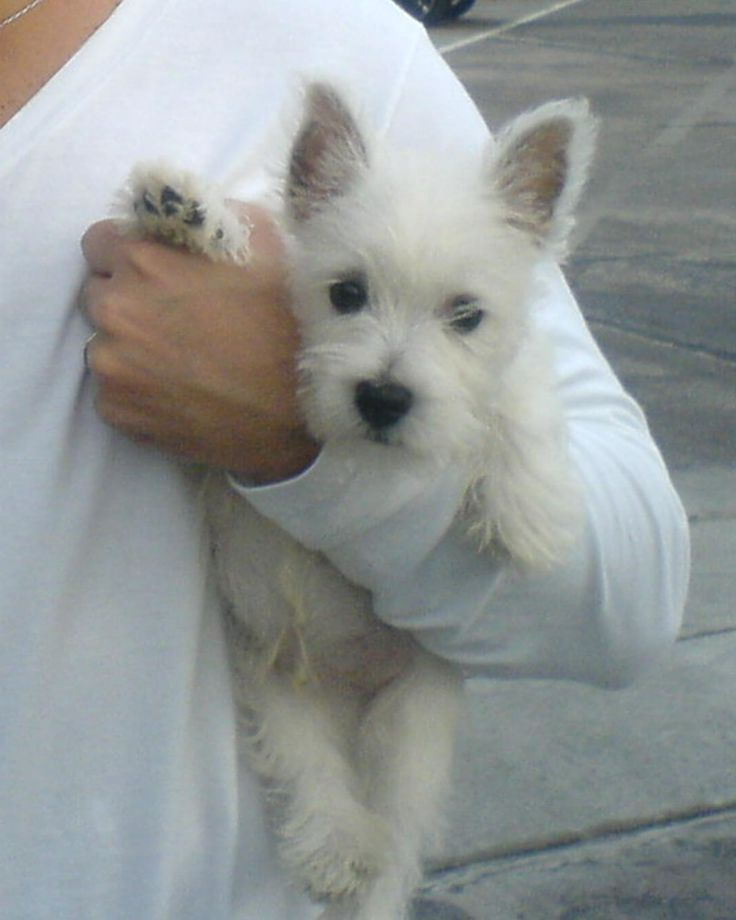9 tips for you to conquer your westies sonderlives - Pictures of westie dogs ...