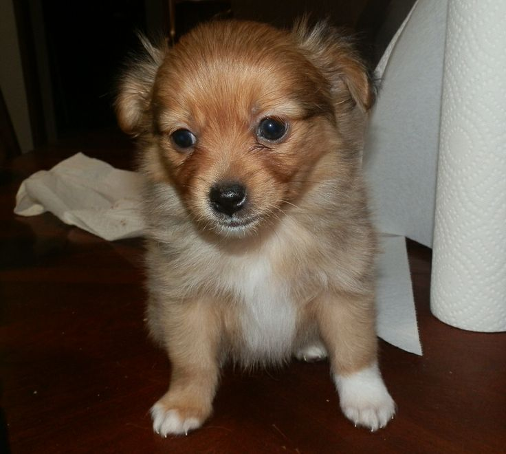 26 best images about i �� pomchis on pinterest