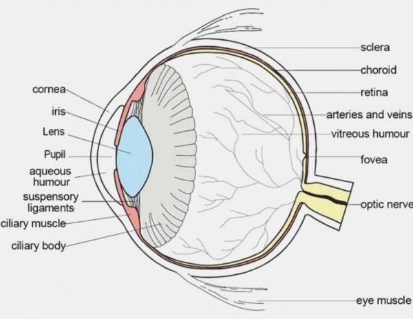 Eye Diagram Labeled Human Eye Diagram Eye Anatomy Eye Structure