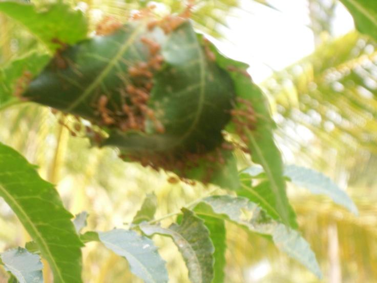 Rode mieren uit thailand ,kunnen flink prikken.AUWW