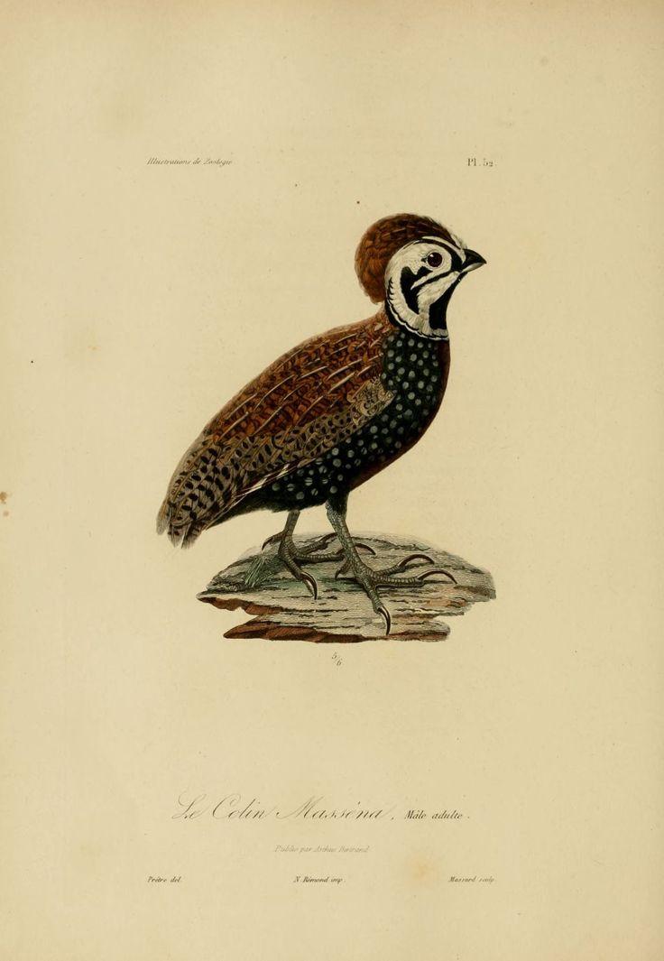 Gravures couleur d 39 animaux dessin de zoologie 0274 oiseau colin massena gravures - Dessin d animaux ...