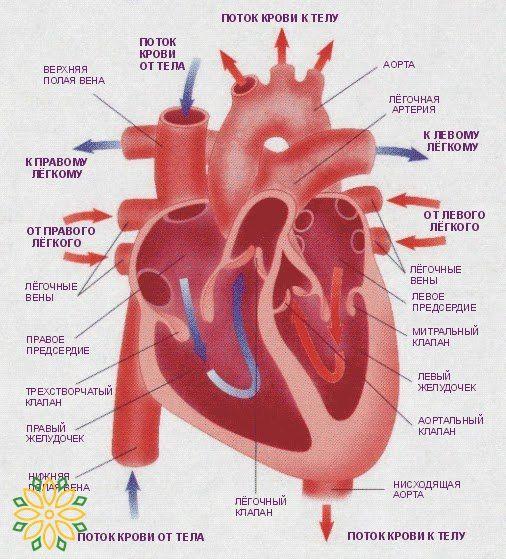 Факты о сердце  1. Согласно последним рекомендациям всемирной организации здравоохранения 1999 г., нормальным считается уровень артериального давления ниже 130/85. Уровень давления между 130/85 и 140/90 и выше считается артериальной гипертонией.  2. Только измерение пульса на запястье дает верную картину сердечных сокращений. Попытки мерить пульс на шее — ошибочны. Давление на шейную артерию сбивает сердечный ритм.  3. Сердце имеет правую и левую части. Левая сильнее, чем правая, и крупнее…