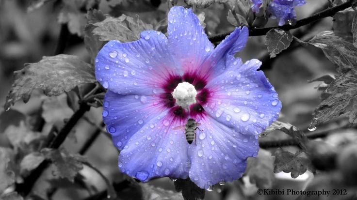 Purple Hibiscus Backyard Snob : garden red hibiscus missouri botanical garden kibibi photography red