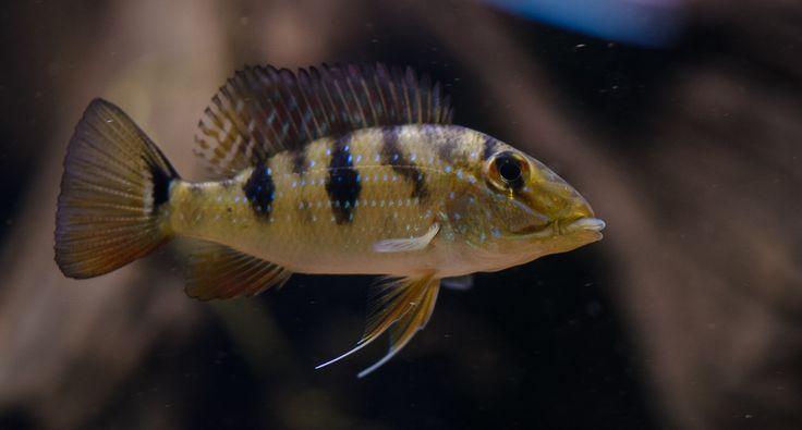 17 Best Images About Cichlids On Pinterest Cichlids