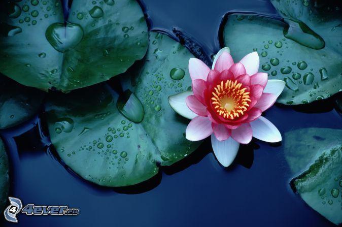 kwiat lotosu, różowy kwiat, lilie wodne