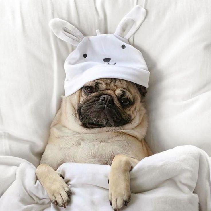 Noi siamo talmente stanchi che si va a nanna con le galline. La #MaratonaMentana e #Eicma ci hanno massacrato... Foto di: @feffapgl  Questa vita mi distrugge.  #BauSocial #Dog #Cane #Pug #Carlino #Milano #bed #sleepy #night #dogofinstagram #dogphotography #dogofinstagram #dogstagram #italia #pugloversclub #doglovers #puglovers #pugs #puglife