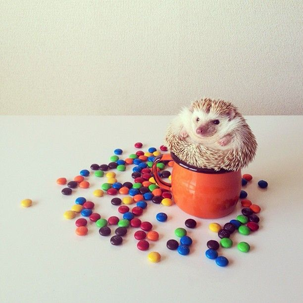 Meet Darcy: The Cutest Little Hedgehog in the World ...