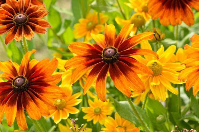Cappuccino Gloriosa Daisy , Gloriosa Daisy Cappuccino, Rudbeckia Cappuccino, Rudbeckia hirta Cappuccino, Black-eyed Susan Cappuccino, yellow flowers, bicolor flowers