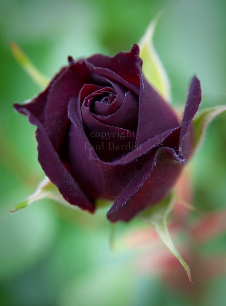 "A gorgeous rose titled ""Midnight Blue~ stunning~Barden Rose, Gorgeous Rose, Black Rose, Purple Rose, Doces Paul, Paul Barden, Flower Gardens, Blue Roses, Midnight Blue"