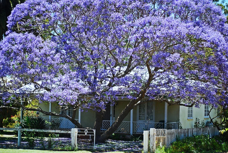 Australian country style home with Jacaranda tree
